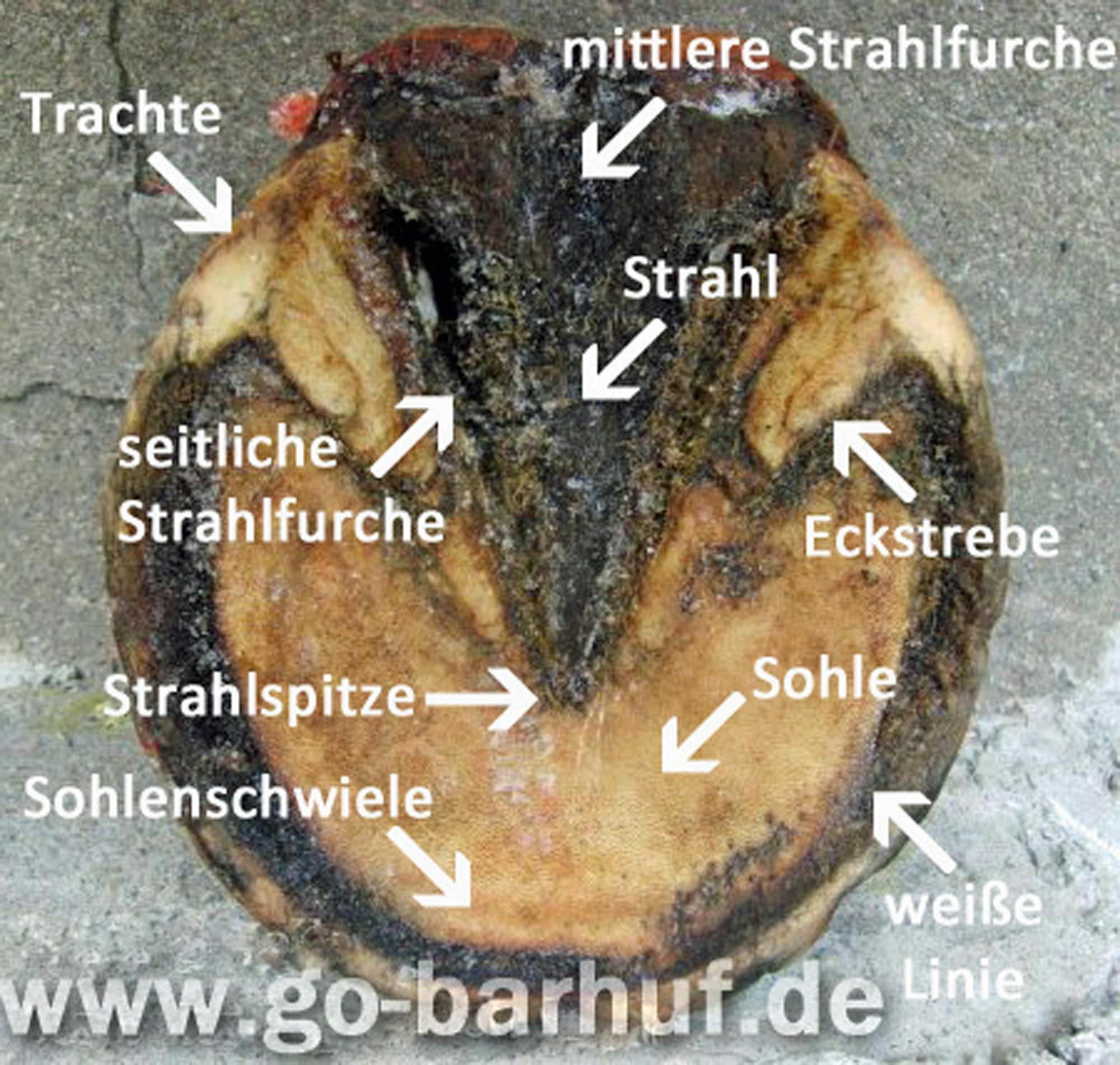 Manu Volk Go-barhuf.de - Der Huf