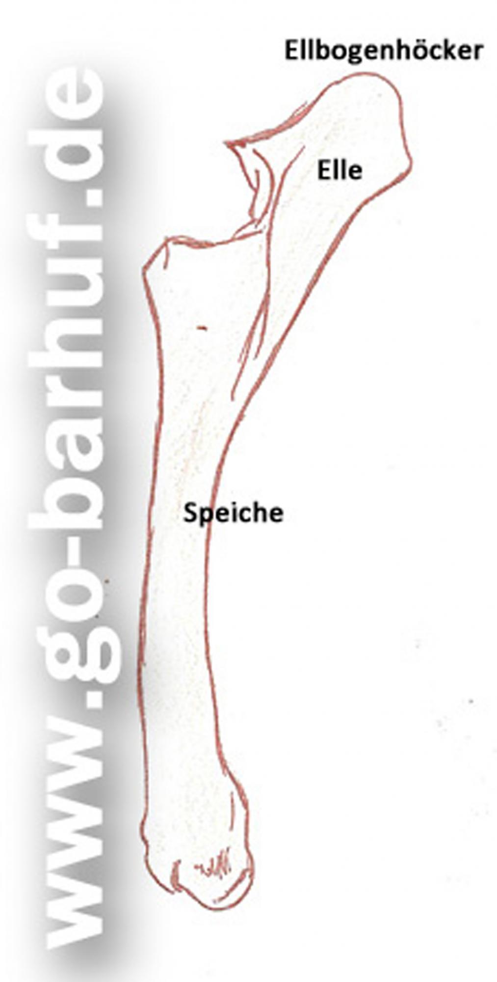 Beste Unterarmknochen Bilder - Menschliche Anatomie Bilder ...