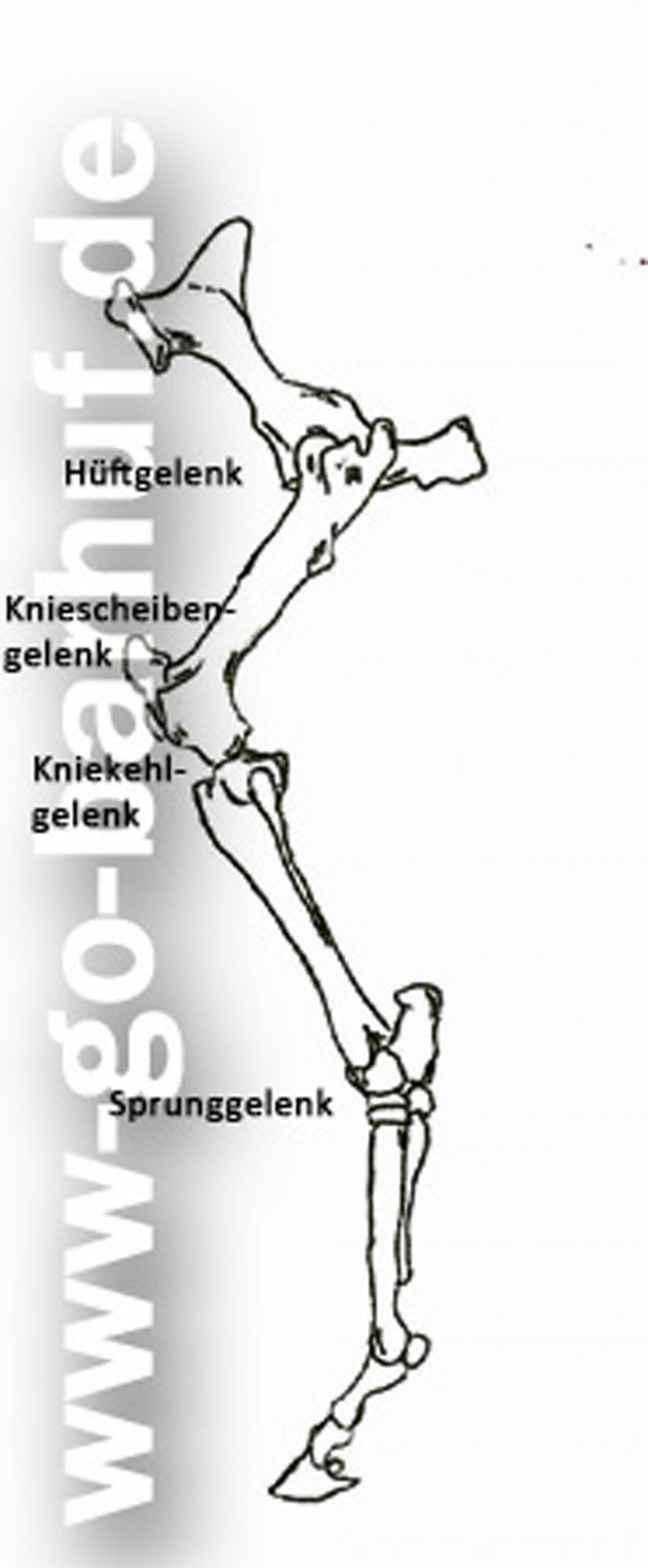 Manu Volk Go-barhuf.de - Hintergliedmaße