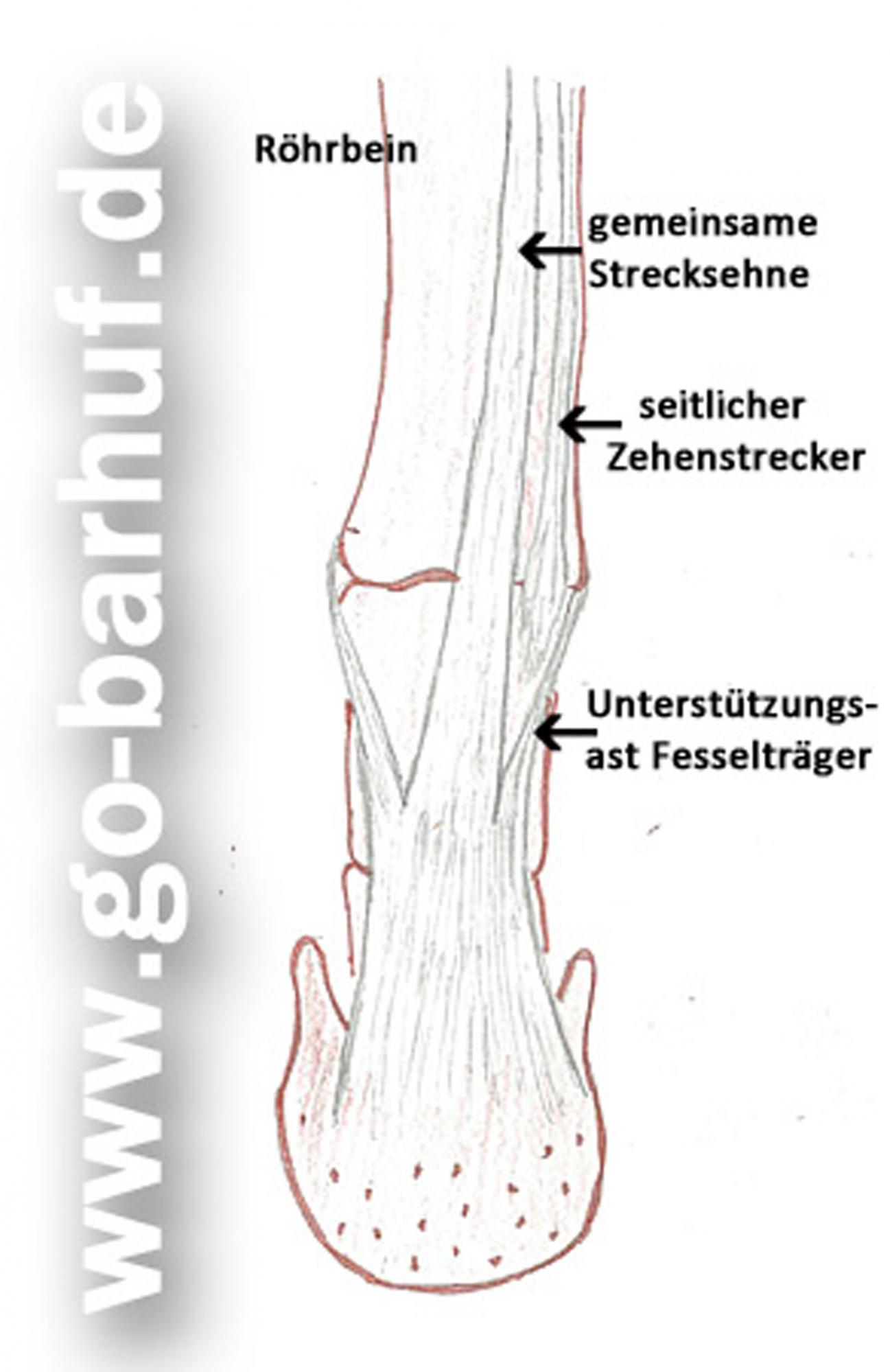 Manu Volk Go-barhuf.de - Sehnen